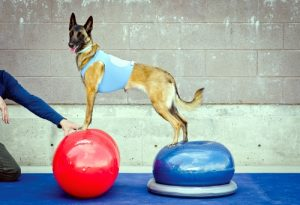 Как нарастить мышечную массу собаке