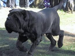 Собаки-молоссы — гиганты с добрым сердцем