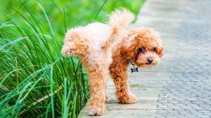 Изменение цвета мочи у собаки, причины и диагностика