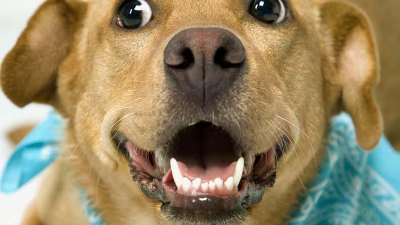 Снежный нос у собаки