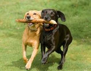 совместный выгул собак